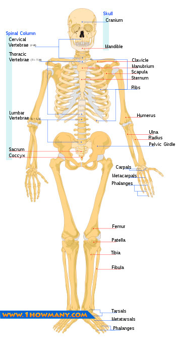 many bones in the human body, Human body